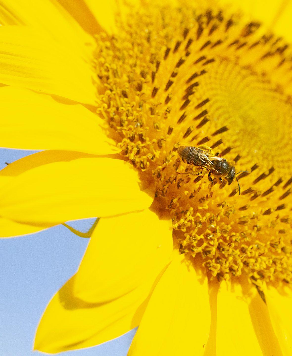 abeja posada sobre un girasol